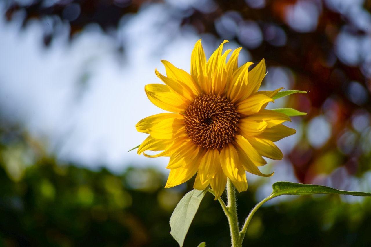 Girassol Como Plantar E Cultivar Uma Das Flores Mais